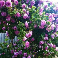 Wholesale Purple Climbing Flowers - 100 Purple Climbing Rose Seeds Flower DIY Garden Plant Visually Stimulating Layouts Garden Free Shipping