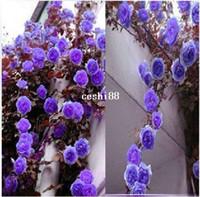 ingrosso semi molto rari-1 Professional confezione 100 semi / Pack rara arrampicata Purple Rose semi ornamentali molto bella arrampicata fiori #A00098