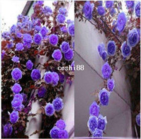 Wholesale Ornamental Trees - 1 Professional Pack, 100 Seeds   Pack, Rare Purple Climbing Rose Seeds, Very Beautiful Ornamental Climbing Flowers #A00098