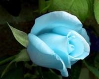 himmel garten lichter großhandel-Kostenloser Versand Licht Sky Blue Rose Blumensamen * 100 Samen Pro Paket * Balkon Topfpflanzen Gartenpflanzen