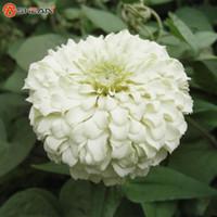 ingrosso piante del cortile-Un Confezione da 100 Pz Bianco Zinnia Seed Balcone Cortile Di Fiori In Vaso Bonsai Zinnia Elegans Sementi Pianta Sementi di Fiori