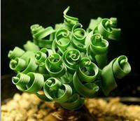 ingrosso alberi bonsai crescenti-50 PZ Primavera semi di erba Piante grasse Semi di erba FAI DA TE bonsai In Vaso Giardino Casa Pianta Esotica Interessante Spedizione gratuita