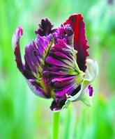 ingrosso piantare piante di tulipani-Importazioni di piante ornamentali. Bulbi di tulipani rari pappagallo mondo -2PC bonsai (non semi di tulipano)