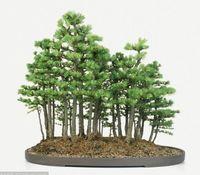 Wholesale ornamental trees - Garden Plant 100 pcs larch seed bonsai Larix gmelinii seeds ornamental flowers pine seeds Bonsai Seed