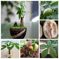 Wholesale Plant Pots Sale - Hot Sale Pachira Money Tree Plant Seeds Potted Seeds Pachira Macrocarpa Seeds 1 PCS pack Free shipping
