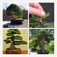 Heirloom 20 Juniper Seeds Bonsai Tree Love Of Family Home Garden Piccolo albero sempreverde Freddo forte