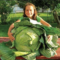 Heirloom 200 Giant Russian Cabbage Seeds Vegetable Gran adición a su jardín