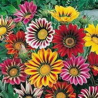 Wholesale Gazania Flower - 20 Gazania Flower Seeds,Mix Color Perennial DIY Home Potted ,Yard Flower,Hardy ,Heat tolerant Free Shipping SS048