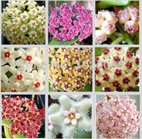 Wholesale 100 bag Hoya seeds potted seed flower seed variety complete the budding rate Mixed colors