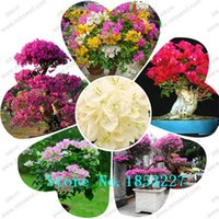 Wholesale Bougainvillea Flowers - 100 pcs bag rare Bougainvillea seeds, potted seed, flower seed, variety complete, the budding rate 95%, (Mixed colors)
