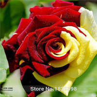Wholesale Seeds Pack Rare Amazingly Beautiful Red Yellow Rose Flower Seed