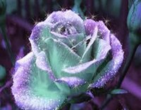 Wholesale Rose Garden Colors - Free Shipping Mint And Purple Rose Seeds *100 Pieces Seeds Per Package* New Arrival Two Colors Ombre Charming Garden Plants
