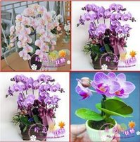 ingrosso semi molto rari-Nuovo arrivo asettico semi di orchidea idroponica fiori al coperto bonsai quattro stagioni borsa - 100 semi di grano