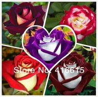 ingrosso rosso ornamentale-250 Nuovi Semi Della Rosa,5 Diversi Colori Rari Rosa Osiria Professionali Di Imballaggio,Di Famiglia Cinese Di Rosa, Semi Di Fiori,+Misterioso Regalo