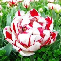 ingrosso piantare piante di tulipani-100 pz / borsa Bonsai Tulip Seeds Rare Red White Petali Tulipano Semi di fiori Perenni Giardino domestico Piante in vaso