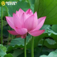 Common pack a bowl - A Pack Pink Bowl Lotus Seeds Balcony Patio Garden Potted Bonsai Plant Seeds Farm Nelumbo Nucifera Seed