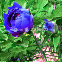 Wholesale Paeonia Seeds - 1 Pack 20 Flower Seeds Blue Peony Rare Paeonia Potted Home Garden Plant New