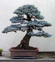 blue evergreen trees - Bonsai Colorado Blue Spruce Picea pungens seeds Evergreen tree