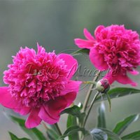 Wholesale French Marigold Flower - Heirloom 200 Rose Pink Color French Marigold Seeds Visually Stimulating Layouts