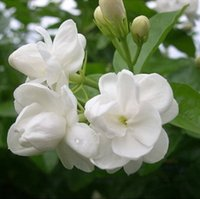 Wholesale Wholesale Jasmine Flowers - 1 pack 30 pieces white jasmine Seeds, fragrant plant arabian jasmine seeds,flower seeds free shipping