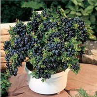 organic blueberry plants - 100pcs fruit seeds BlueBerry seeds Black pearl Blueberries DIY Countyard Bonsai plants Seeds for home garden seeds