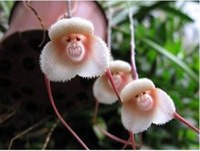 visage de singe orchidée graines de fleurs achat en gros de-20 Graines / pack Singe Visage Orchidées Graines Bonsaï Plantes Graines Pour La Maison Gardengaeden Décoration Bonsaï Graines De Fleurs