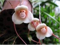 ingrosso fiori di orchidea bonsai-20 Semi / pack Monkey Face Orchidee Semi Bonsai Piante Semi Per La Casa Gardengaeden Decorazione Semi di Fiori Bonsai