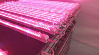 Wholesale Wholesale Red Peppers - T8 LED Red \ blue integration tomatoes \ pepper \ vegetable farming fill light nursery lamp lights Cultivation Grow Light