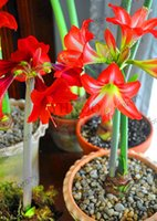 lírios de bulbos venda por atacado-Menor bulbo preço! Super Big Verdadeiros Amaryllis bulbos, plantas bonsai flores raras hippeastrum lâmpadas Barbados Lily vasos de jardim de casa