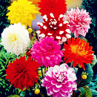 100 pcs bag dahlia flower dahlia seeds,(not dahlia bulbs)bonsai flower seeds gorgeous flower Balcony potted plant for home garden