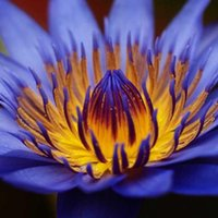 418763a63528 10 Pcs lotus seeds Bonsai Hydroponic Plants Aquatic Plants Seedsflower Pot Lotus  Water Lily plant Bonsai Garden Decoration Seedling