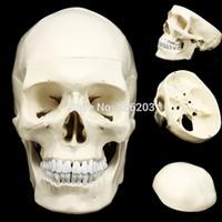 modelo de tamaño natural esqueleto al por mayor-Anatomía humana esqueleto tamaño natural anatómico Modelo de enseñanza cerebro cráneo pistola traumática útiles escolares instrumentos médicos