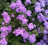blumensamen stiefmütterchen großhandel-Suntoday Flower Nicandra Tagetes Ringelblumen-Stiefmütterchen-Morgen-Singrünsamen Asiatische Gartenpflanze Hybride Non-GMO Organic Fresh Seeds
