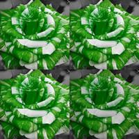 ingrosso giardino fiori perenni-100 pezzi a buon mercato verde semi di rose del deserto adenium semi di fiori obesum perenni esotici adenium obesum piante perenni balcone giardino