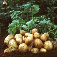 ingrosso alberi perenni-100 pz Gigante Piante di Patate Viola Perenne Bonsai Albero Anti-rughe Vegetazione Piantare Per La Casa Giardino C19041601