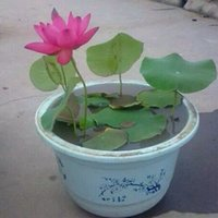 semillas de loto acuaticas al por mayor-Semillas de loto Plantas acuáticas Semillas de flores Bricolaje Jardín de casa Bonsai Flor planta de semillas 5 partículas / bolsa