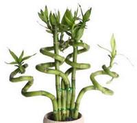 ingrosso piante radiazioni-20 pz / borsa, semi Lucky Bamboo, balcone in vaso, piantare è semplice, tasso di germogliamento del 95%, assorbimento di radiazioni, colori misti