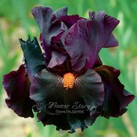 Wholesale Garden Irises - 5 Black Iris Seeds Flower DIY Garden Plant Provide Year-Round Beauty Free Shipping
