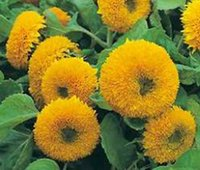 Organic organic teddy bears - New Rare SUNFLOWER TEDDY BEAR Helianthus Annuus Bulk Flower Seeds