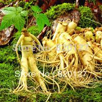 ingrosso sementi-30 Semi Stratificato Cinese Hardy Panax Ginseng Corea Semi di Ginseng, Semi di Piante A Base di Erbe, Crescere Il Proprio Ginseng Radici