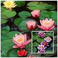 Wholesale Lotus Flower Bowl - 20 Mixed Color Chinese Bowl Lotus Seeds--easy growing Free Shipping SS121
