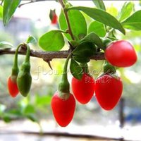 Wholesale Wholesalers Goji Berries - 20 Organic HIMALAYAN TIBETAN GOJI BERRY WOLFBERRY FRUIT Bush Lycium Barbabarum Seeds Free Shipping TT015
