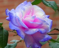 Wholesale Rose White Piece - Free Shipping Light Purple Pink And White Rose Seeds *100 Pieces Seeds Per Package* New Arrival Three Colors Ombre Charming Garden Plants