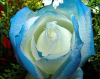 Wholesale Colored Seed - Free Shipping Blue and Cream-Colored Rose Seeds *100 Pieces Seeds Per Package* New Arrival Two Colors Ombre Charming Garden Plants
