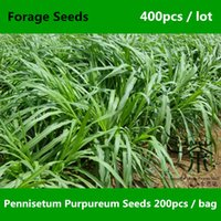Wholesale Family Poaceae Elephant Grass Pennisetum Purpureum Seeds Perennial Herbs Ugandan Grass Forage Seeds Novel Plant Napier Grass Seeds