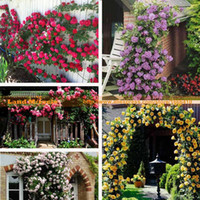 Wholesale Purple Climbing Flowers - 5 Professional Pack, 100 seeds   pack, 500 Climbing Rose Seeds--Pink, White, Purple,Red,Yellow Garden Flower Land Miracle #LMM34