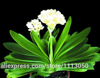 Wholesale Cheap Wholesale Bonsai - Clivia seeds, free shipping cheap Clivia seeds,Clivia potted seed, Bonsai balcony flower - 100 pcs bag