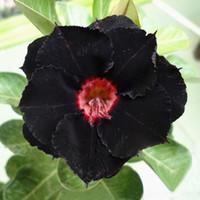 zierblumen großhandel-Einzigartige schwarze Wüstenrose Samen Zierpflanzen Balkon Topfblumen Samen Adenium Obesum Samen