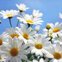 Wholesale German Flowers - 400 Impressive GERMAN FRAGRANT CHAMOMILE FLOWER HERB CAMOMILE APPLE TEA SEEDS,Free Shopping TT140