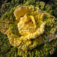 Wholesale Winter Seeds - Dwarf Chinese Cabbage with Yellow Heart 500 Seeds for Fall Winter Planting NON-GMO Easy-growing Vegetable Productive
